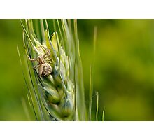 Crabspider, Xysticus cristatus Photographic Print