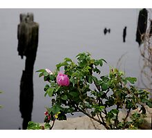 Beach Rose Photographic Print
