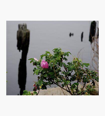 Beach Rose Photographic Print
