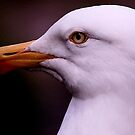 Herring Gull by snapdecisions