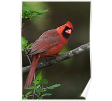Northern Cardinal In Armur Maple Poster