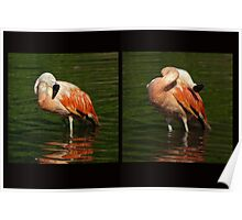 Scratch front, scratch back - Bathing flamingo Poster
