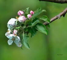 Apple Blossoms by Diane E. Berry