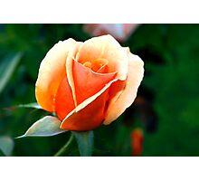 Peach rosebud Photographic Print