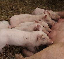 Hungry Piglets  by karina5