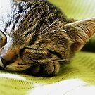 Kitten 1 by ciriva