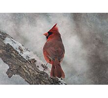 Cardinal in Snowstorm Photographic Print