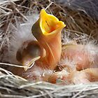 Baby Robins 1 by Debbie Pinard