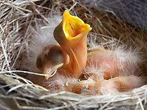 Baby Robins 1 by Debbie Pinard