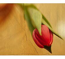 one tulip... Photographic Print