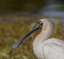 Royal Spoonbill Portrait by JayWolfImages