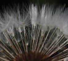 dandelion's secrets 1 by yvesrossetti