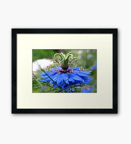 Nigella of Blue Framed Print