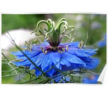 Nigella of Blue Poster