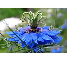 Nigella of Blue Photographic Print
