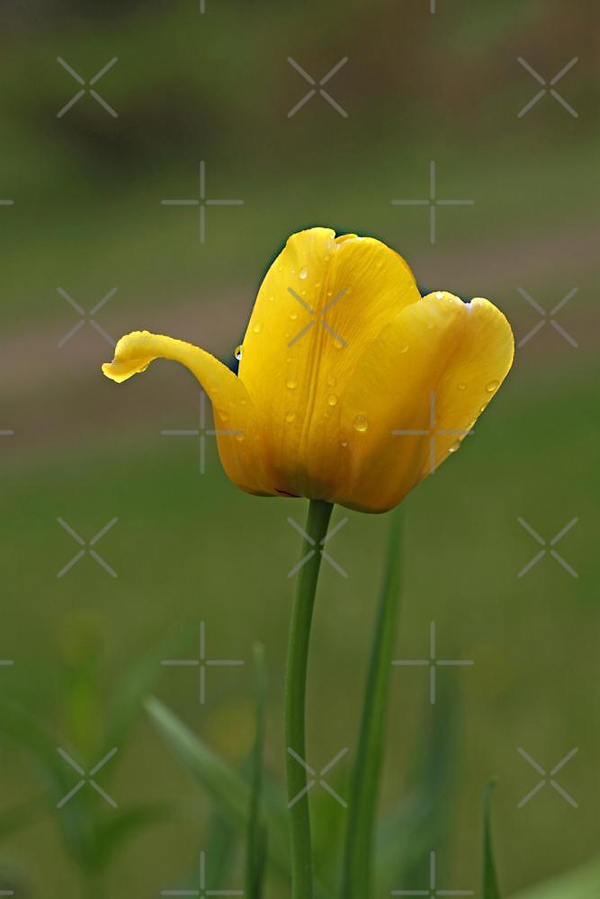 Tulip Tears by Vickie Emms
