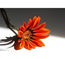 Indoor Gazania Photographic Print