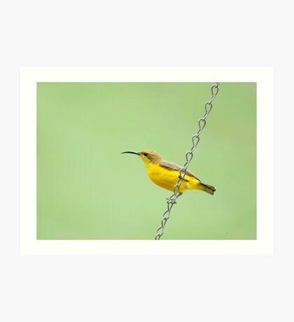 Bird on a wire - sunbird  Art Print