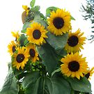 The Buzzing of Sunflowers by Sandra Fortier