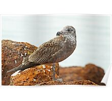 Juvenile Pacific Gull Poster