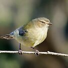 Little weebill by Rick Playle