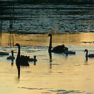 Black Swan Silhouette  by byronbackyard