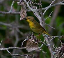 Female Common Yellow Throated Warbler by John Absher