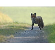 Stopped in its Tracks - Red Fox Photographic Print