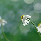 Chamomile behind by Lifeware