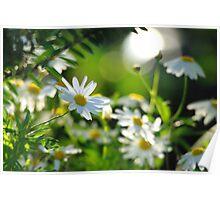 Daisy delight Poster