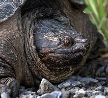 40 Million Years Of Evolution / Adult Snapping Turtle by Gary Fairhead