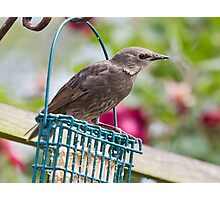 Feeding Starling Photographic Print