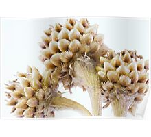 Three Globe Cornflower Seed Heads - Macro Poster