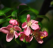 Apple Blossoms by Diane Blastorah