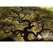 Twisted Japanese Maple Photographic Print