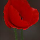 Poppy by TonyGeary