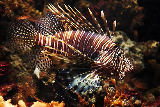Brown camouflaged Lionfish by steppeland