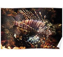 Brown camouflaged Lionfish Poster