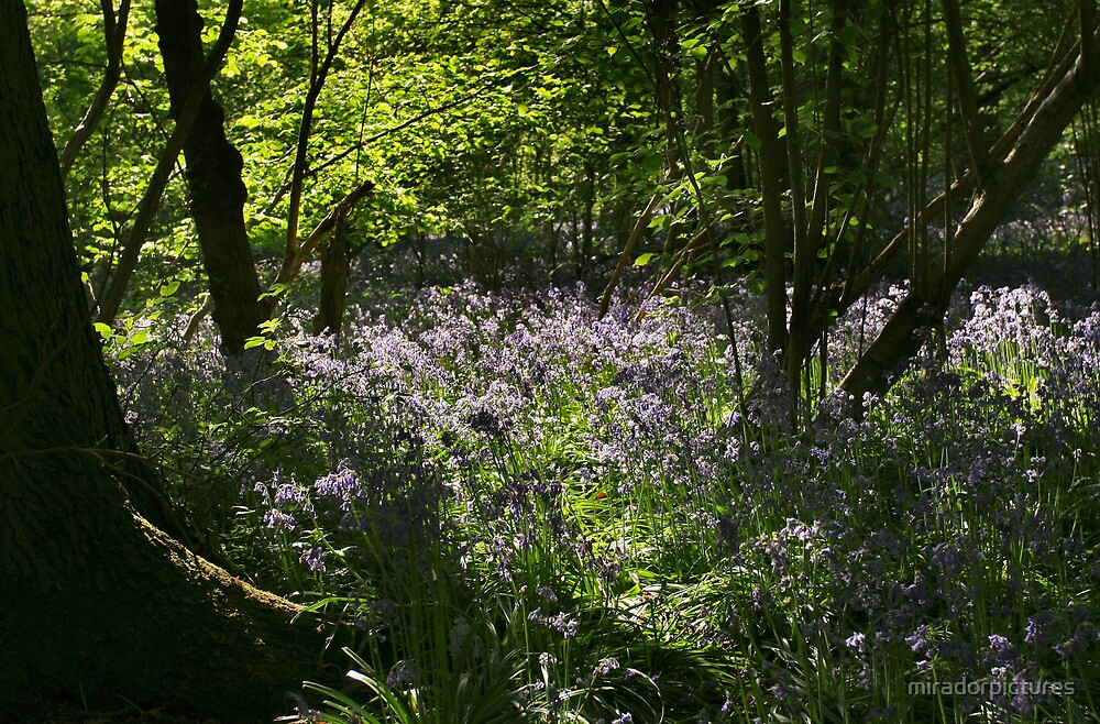 A Carpet Of Bluebells In Ancient Woodland by miradorpictures