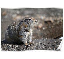 Arctic Ground Squirrel Poster
