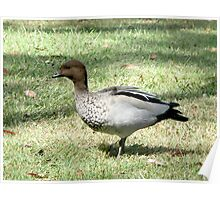 Maned Wood Duck, male Poster