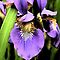 An Iris Portrait - Botanical by Margie Avellino