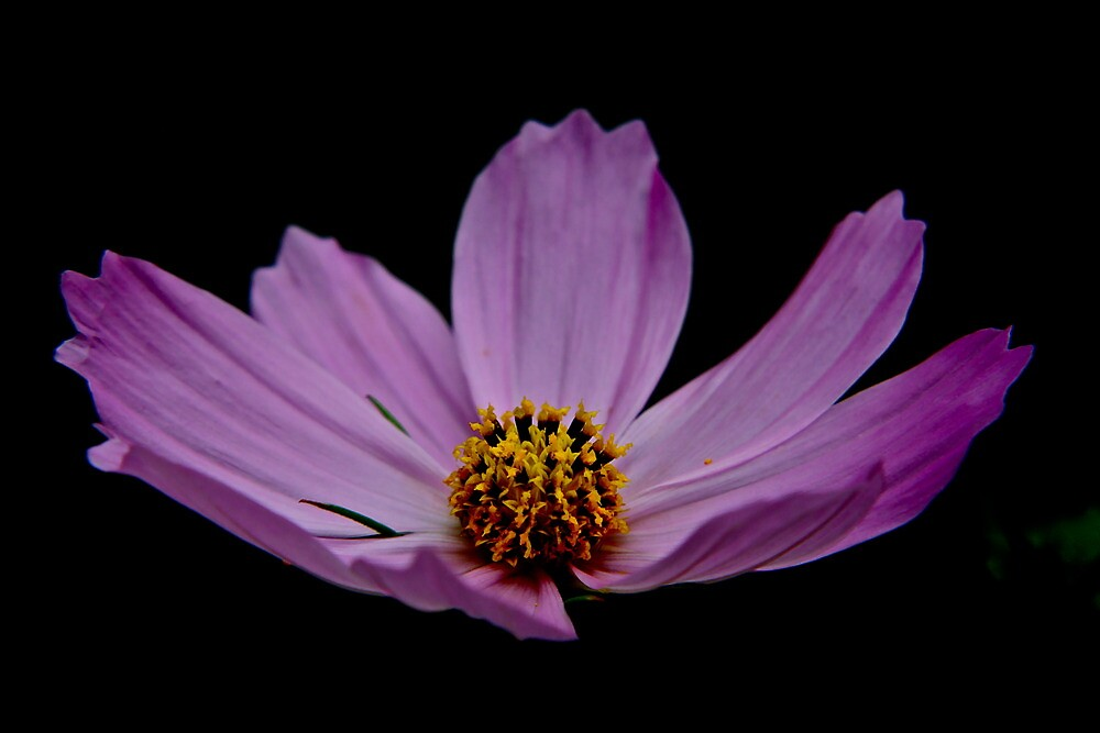 Pink Flower For Tina by Marcella Hadden