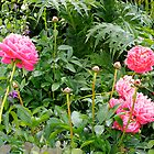 Peonies, Blenheim, New Zealand. by johnrf