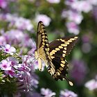 Giant Swallowtail by Linda Trine