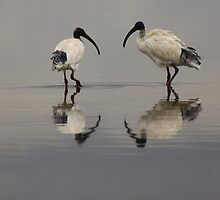 Morning Stroll-White Ibis by neverforgotten