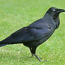 Australian Raven by Robert Abraham