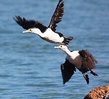 ''Australian Pied Cormorants'' by bowenite