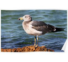 ''Immature Pacific Gull'' Poster