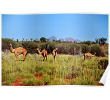 Camels in the outback Australia Poster